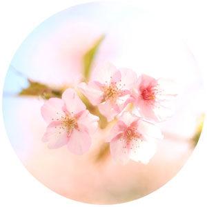 桜の大木に包まれる、やさしいピアノソロです♪